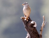 BIRD - SPARROW - WHITE-CROWNED SPARROW - KROUSE'S BOTTOM ELWHA RIVER VALLEY WA.JPG
