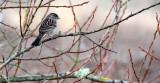 BIRD - SPARROW - WHITE-THROATED SPARROW - SEQUIM DUNGENESS WETLANDS WA (6).JPG