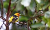 BIRD - TANAGER - WESTERN TANAGER - LAKE FARM AREA WA (6).JPG