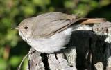 BIRD - THRUSH - SWAINSON'S THRUSH - CATHARUS USTULATUS - LAKE FARM WOODS WA (9).JPG