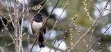 BIRD - TOWHEE - SPOTTED TOWHEE - LAKE FARM WA (5).JPG