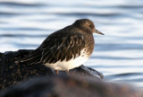 BIRD - TURNSTONE - BLACK TURNSTONE - PA HARBOR (24).jpg