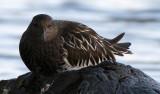 BIRD - TURNSTONE - BLACK TURNSTONE - PA HARBOR (34).jpg