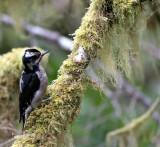 BIRD - WOODPECKER - HAIRY WOODPECKER - MARYMERE FALLS TRAIL WA (7).JPG