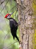 BIRD - WOODPECKER - PILEATED WOODPECKER - GASMAN (19).jpg