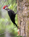 BIRD - WOODPECKER - PILEATED WOODPECKER - GASMAN (30).jpg