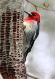 BIRD - WOODPECKER - SAPSUCKER - RED-BREASTED SAPSUCKER - SPHYRAPICUS RUBER - LAKE FARM TRAILS WA (44).JPG