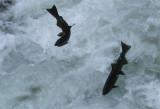 FISH - SALMON - COHO SALMON - SALMON CASCADES ON SOL DUC RIVER (30) (Small).jpg