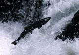 FISH - SALMON - COHO SALMON - SALMON CASCADES ON SOL DUC RIVER (37).jpg