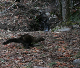 MUSTELID - FISHER RELEASE JAN 2008 - OLYMPIC NATIONAL PARK