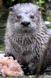 Mammals & Other Critters of the Olympic Peninsula