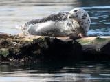 PINNIPED - SEAL - HARBOR SEAL - PORT ANGELES HARBOR (4).JPG