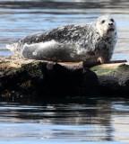 PINNIPED - SEAL - HARBOR SEAL - PORT ANGELES HARBOR (5).JPG