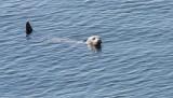 PINNIPED - SEAL - HARBOR SEAL - PUGET SOUND WA (2).JPG