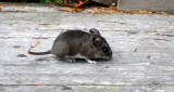RODENT - MOUSE - COMMON DEER MOUSE - PEROMYSCUS MANICULATUS - LAKE FARM TRAILS - TRAPPED (2).JPG