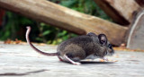 RODENT - MOUSE - COMMON DEER MOUSE - PEROMYSCUS MANICULATUS - LAKE FARM TRAILS - TRAPPED.JPG