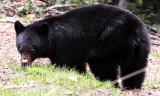 URSID - BEAR - AMERICAN BLACK BEAR - NORTHWESTERN SUBSPECIES - HURRICANE RIDGE ROAD WASHINGTON (11).JPG
