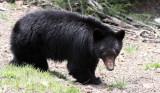 URSID - BEAR - AMERICAN BLACK BEAR - NORTHWESTERN SUBSPECIES - HURRICANE RIDGE ROAD WASHINGTON (14).JPG