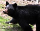 URSID - BEAR - AMERICAN BLACK BEAR - NORTHWESTERN SUBSPECIES - HURRICANE RIDGE ROAD WASHINGTON (2).JPG