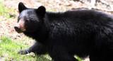 URSID - BEAR - AMERICAN BLACK BEAR - NORTHWESTERN SUBSPECIES - HURRICANE RIDGE ROAD WASHINGTON (3).JPG