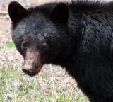 URSID - BEAR - AMERICAN BLACK BEAR - NORTHWESTERN SUBSPECIES - HURRICANE RIDGE ROAD WASHINGTON (46).JPG