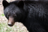 URSID - BEAR - AMERICAN BLACK BEAR - NORTHWESTERN SUBSPECIES - HURRICANE RIDGE ROAD WASHINGTON (47).JPG