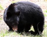 URSID - BEAR - AMERICAN BLACK BEAR - NORTHWESTERN SUBSPECIES - HURRICANE RIDGE ROAD WASHINGTON (53).JPG