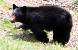 URSID - BEAR - AMERICAN BLACK BEAR - NORTHWESTERN SUBSPECIES - HURRICANE RIDGE ROAD WASHINGTON (6).JPG