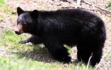 URSID - BEAR - AMERICAN BLACK BEAR - NORTHWESTERN SUBSPECIES - HURRICANE RIDGE ROAD WASHINGTON (7).JPG