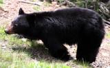 URSID - BEAR - AMERICAN BLACK BEAR - NORTHWESTERN SUBSPECIES - HURRICANE RIDGE ROAD WASHINGTON (8).JPG