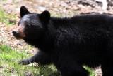 URSID - BEAR - AMERICAN BLACK BEAR - NORTHWESTERN SUBSPECIES - HURRICANE RIDGE ROAD WASHINGTON.JPG