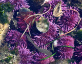 INVERT - MARINE INTERTIDAL - ECHINODERM - SEA URCHIN - PURPLE SEA URCHIN - SALT CREEK WA (2).JPG