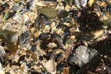 INVERTS - INTERTIDAL - ASSEMBLAGE OF MISC SPECIES - SALT CREEK - SOM'S (2).JPG