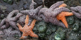 INVERTS - INTERTIDAL - ECHINODERM - PISASTER OCHRACEOUS - BEACH FOUR TIDE POOLS WA (5).JPG