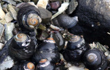 INVERTS - MOLLUSCA - SNAILS - BLACK TURBAN SNAILS - TEGULA FUNEBRALIS WITH SLIPPER SNAILS - SALT CREEK WA (3).JPG