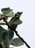 BIRD - BARBET - COPPERSMITH BARBET - KOH LANTA PROPERTY THAILAND (10).JPG
