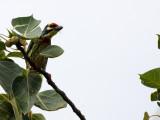 BIRD - BARBET - COPPERSMITH BARBET - KOH LANTA PROPERTY THAILAND (11).JPG