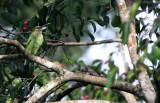 BIRD - BARBET - GREEN-EARED BARBET - KAENG KRACHAN NP THAILAND (9).JPG