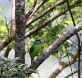BIRD - BARBET - MOUSTACHED BARBET - MEGALAIMA INCOGNITA - KHAO YAI NATIONAL PARK THAILAND (2).JPG