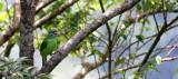 BIRD - BARBET - MOUSTACHED BARBET - MEGALAIMA INCOGNITA - KHAO YAI NATIONAL PARK THAILAND (4).JPG
