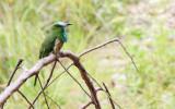 BIRD - BEE-EATER - BLUE-BEARDED BEE-EATER - HUAI KHA KHAENG THAILAND (11).JPG
