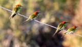 BIRD - BEE-EATER - GREEN BEE-EATER - MEROPS ORIENTALIS - KHAO SAM ROI YOT THAILAND (14).JPG