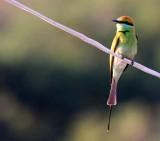 BIRD - BEE-EATER - GREEN BEE-EATER - MEROPS ORIENTALIS - KHAO SAM ROI YOT THAILAND (25).JPG