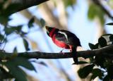 BIRD - BROADBILL - BLACK AND RED BROADBILL - KAENG KRACHAN NP THAILAND (17).JPG