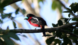 BIRD - BROADBILL - BLACK AND RED BROADBILL - KAENG KRACHAN NP THAILAND (25).JPG