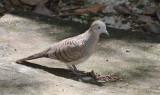 BIRD - DOVE - ZEBRA OR PEACEFULL DOVE - GEOPELIA STRIATA - KOH LANTA THAILAND (5).JPG