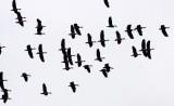 BIRD - DUCK - LESSER WHISTLING DUCK - BUENG BORAPHET THAILAND (17).JPG