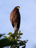 BIRD - EAGLE - CRESTED SERPENT EAGLE - HUAI KHA KHAENG THAILAND (20).JPG