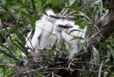 BIRD - EGRET - CATTLE EGRET - BUBULCUS IBIS - NAKHON WETLANDS THAILAND (18).JPG