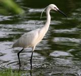 BIRD - EGRET - LITTLE EGRET - EGRETTA GAR - LUMPINI PARK THAILAND (6).JPG